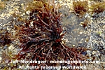 Red Algae photos