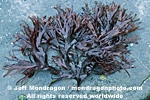 Red Algae images