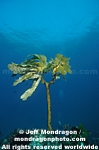 Southern Sea Palm photos