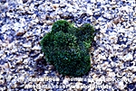 Green Algae photos