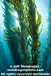 Giant Kelp Forest images