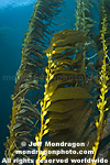 Giant Kelp Forest pictures