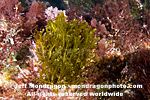 Brown Algae (Seaweed) pictures