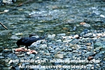 Crow Eating Salmon pictures
