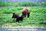 Brown/Grizzly Bear Sow images