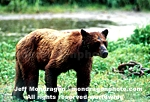 Brown/Grizzly Bear images