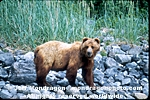 Grizzly/Brown Bear photos