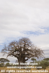 Baobab Tree pictures