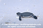 Baby Green Sea Turtle pictures
