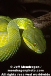 Popes� Pit Viper pictures