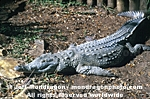 Orinoco Crocodile images