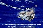 Baby Loggerhead Turtle photos