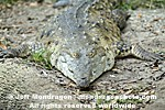 Orinoco Crocodile photos