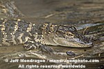 Baby American Alligator images
