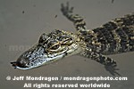 Baby American Alligator photos