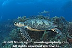Hawksbill Sea Turtle images