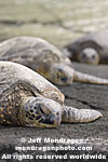 Green Sea Turtles images