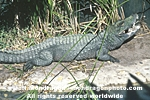 Dwarf Crocodile photos