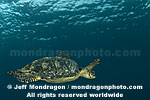 Hawksbill Sea Turtle photos