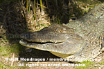 American Crocodile photos