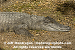 Siamese Crocodile pictures