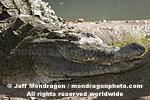 Orinoco Crocodile pictures