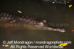 Slender-snouted crocodile photos