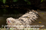 Saltwater Crocodile photos