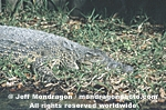 Cuban Crocodile images