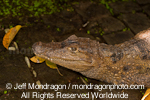 African dwarf crocodile photos