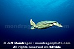 Green Sea Turtle photos