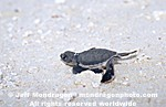 Baby Green Sea Turtle photos
