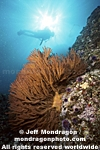 Diver & Gorgonian pictures