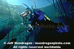 Diver in Kelp Forest images