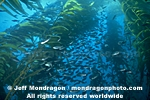 Schooling fish pictures