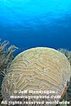 Brain Coral pictures
