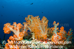 Soft Coral on Tropical Reef photos