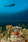 Scuba Diver and lionfish over Tropical C images