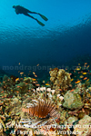 Scuba Diver and lionfish over Tropical C photos