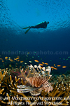 Scuba Diver and lionfish over Tropical C pictures