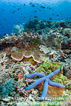 Blue Sea Star on Coral Reef images